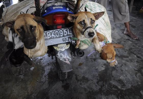 Dogs on the back of a transport bike in Indonesia