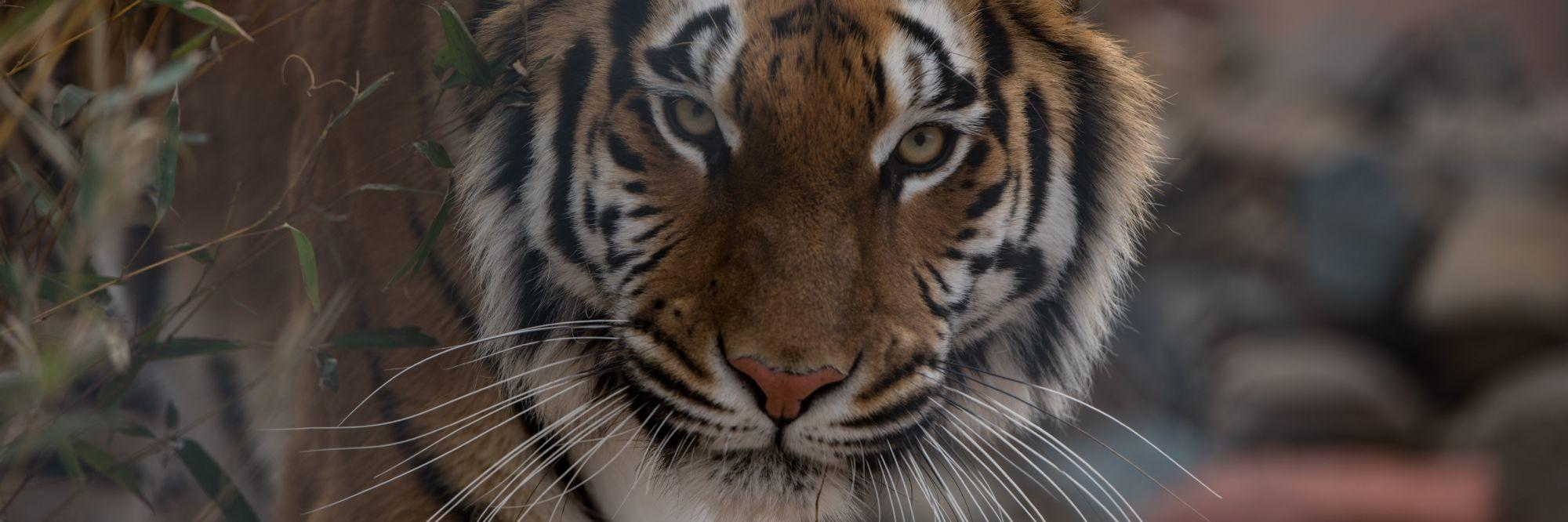 Tigerss Cara