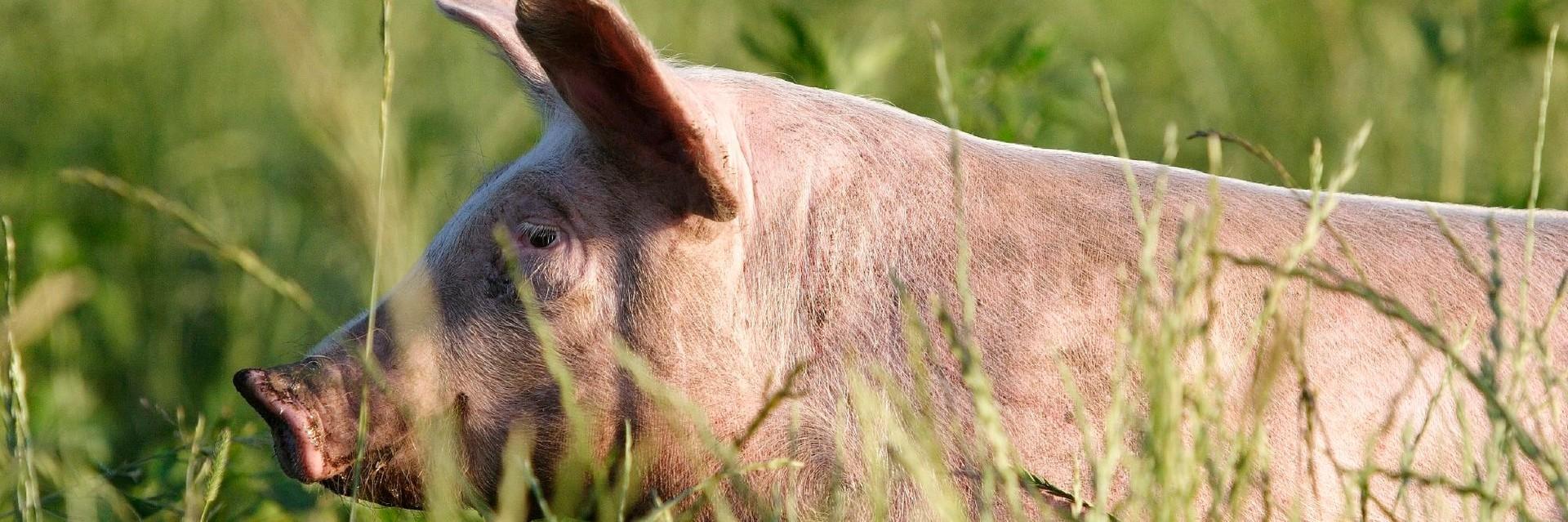 Schwein in Freilandhaltung