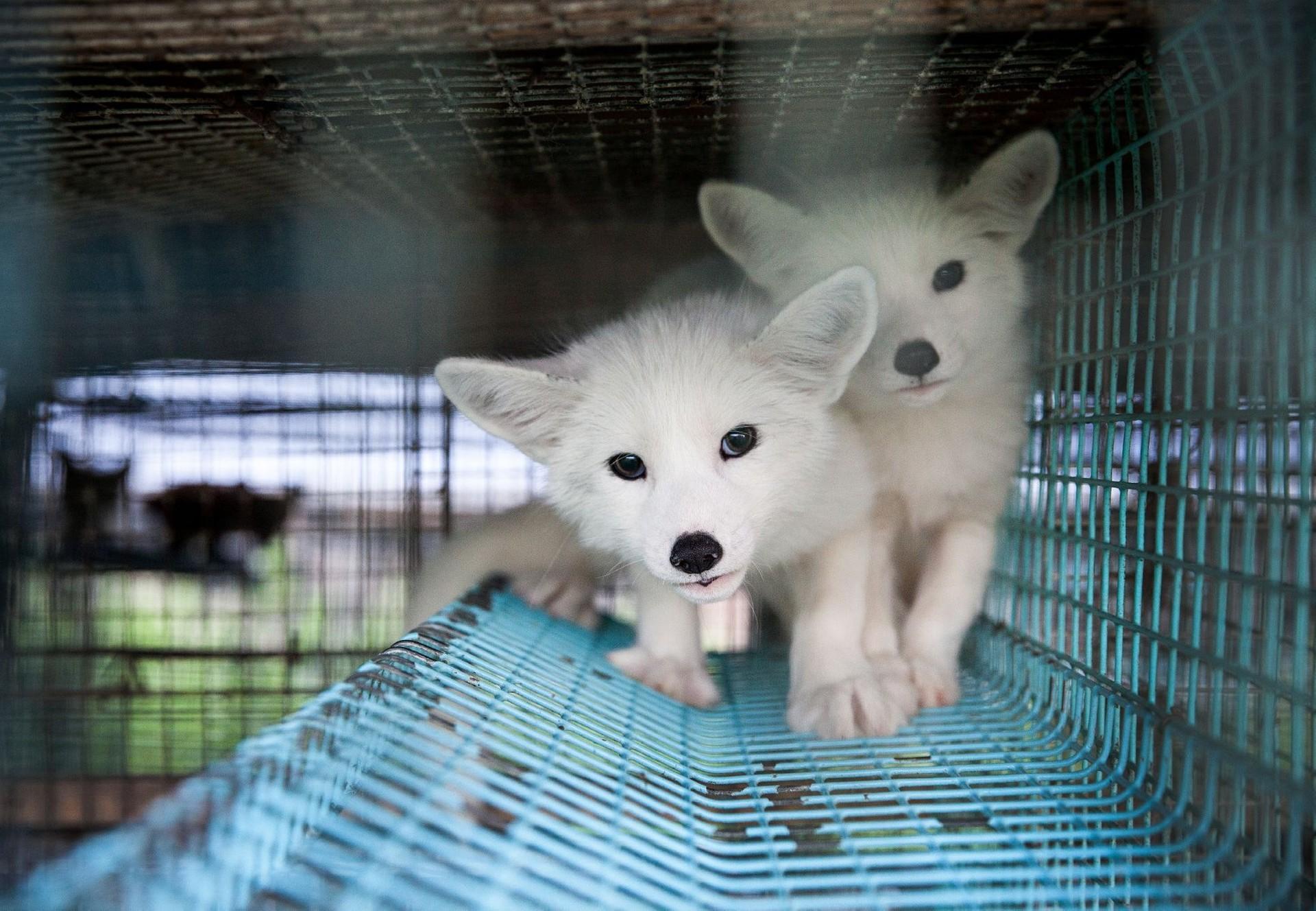 Maderhunde im Käfig auf einer Nerzfarm