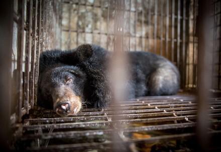 Black bear behind bars at bile farm