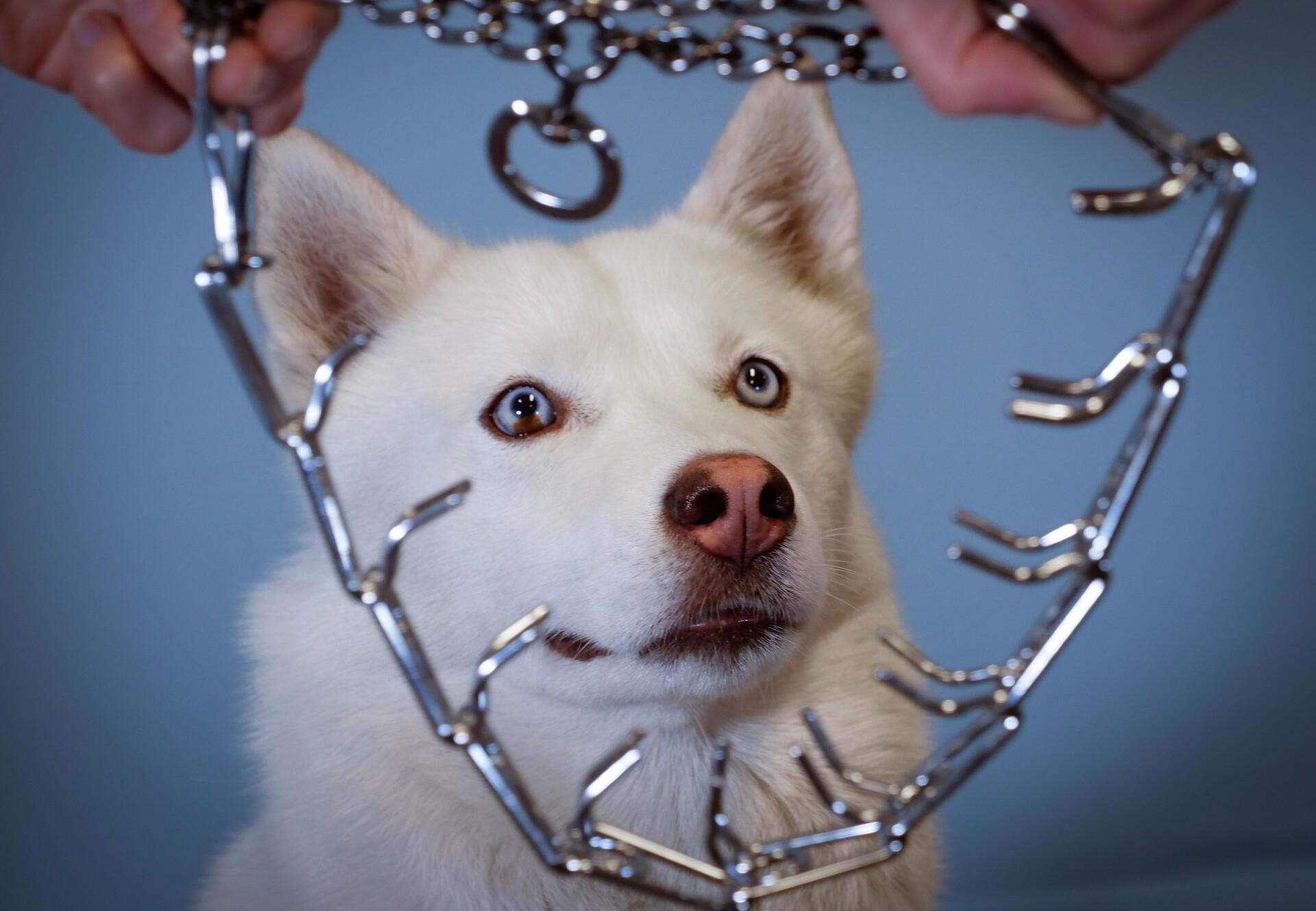 Stachelhalsbänder verursachen bei Hunden Schmerzen und Stress. (c) VIER PFOTEN