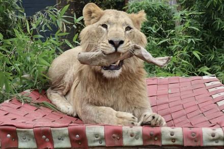Lion Roman