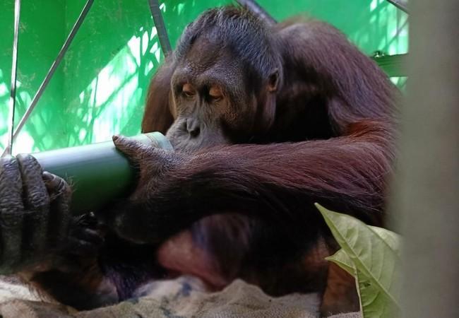 Orang-Utan Robin inspiziert ein Bambusrohr