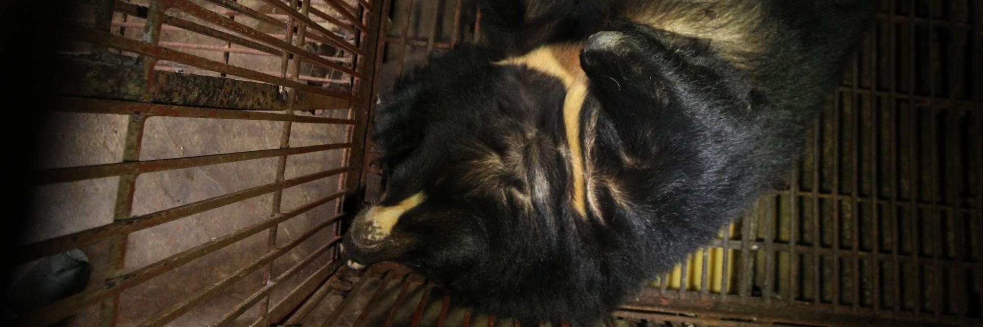 Pétition pour sauver les ours à bile