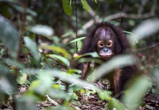 Orangutan Tegar
