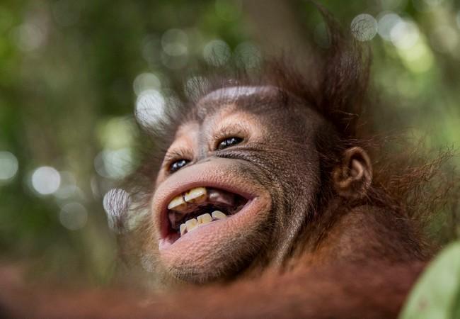 Un joyeux bébé orang-outan