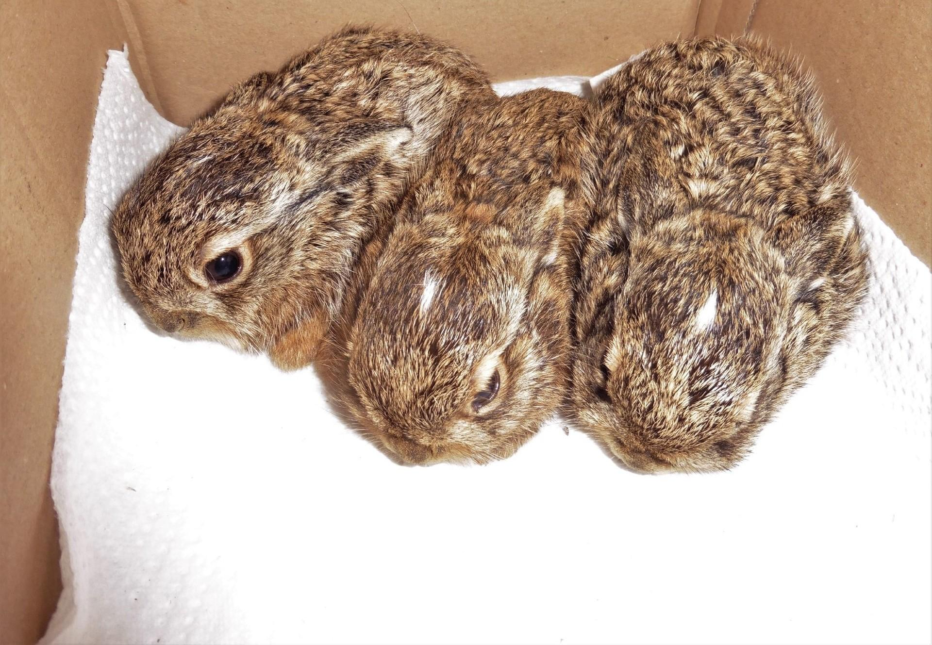 Drei Feldhasenbabies werden in der EGS Haringsee gepflegt