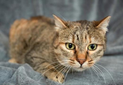 Cat Chubaka   котка Чубака