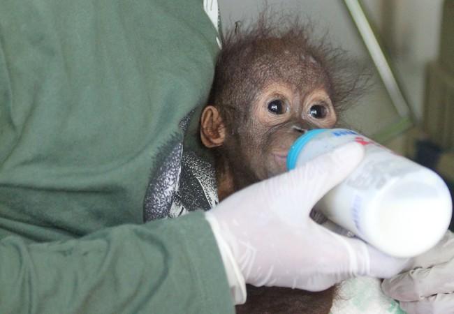 Orang-Utan Gerhana bekommt ein Fläschchen