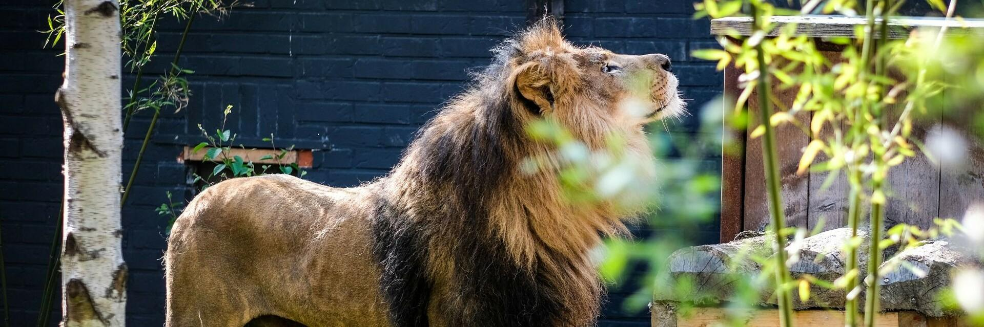 Lion in FELIDA