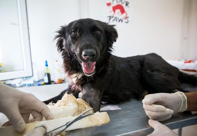 Dog Negrila had multiple fractures in both front legs