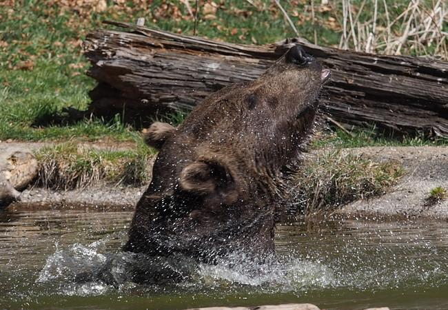 Bär Erich schüttelt sich im Teich und das Wasser spritzt nur so