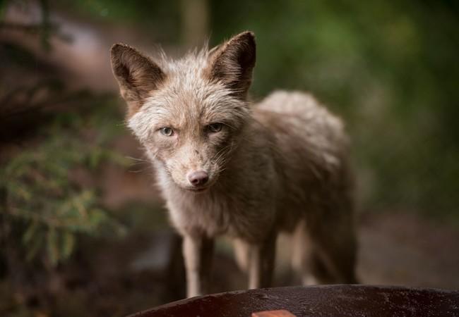 Fuchs Frodo in TIERART 2016