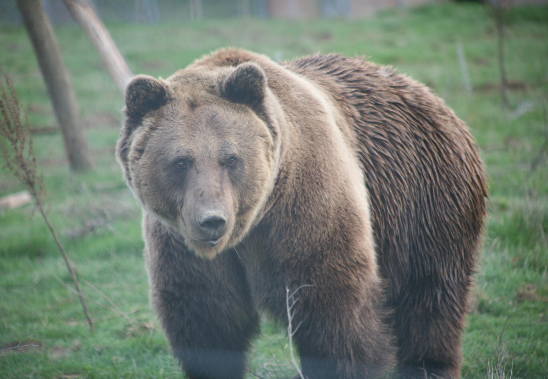 Brown Bear Vivi