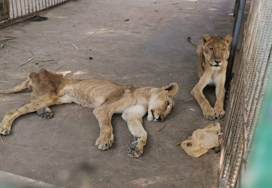 Starving lions