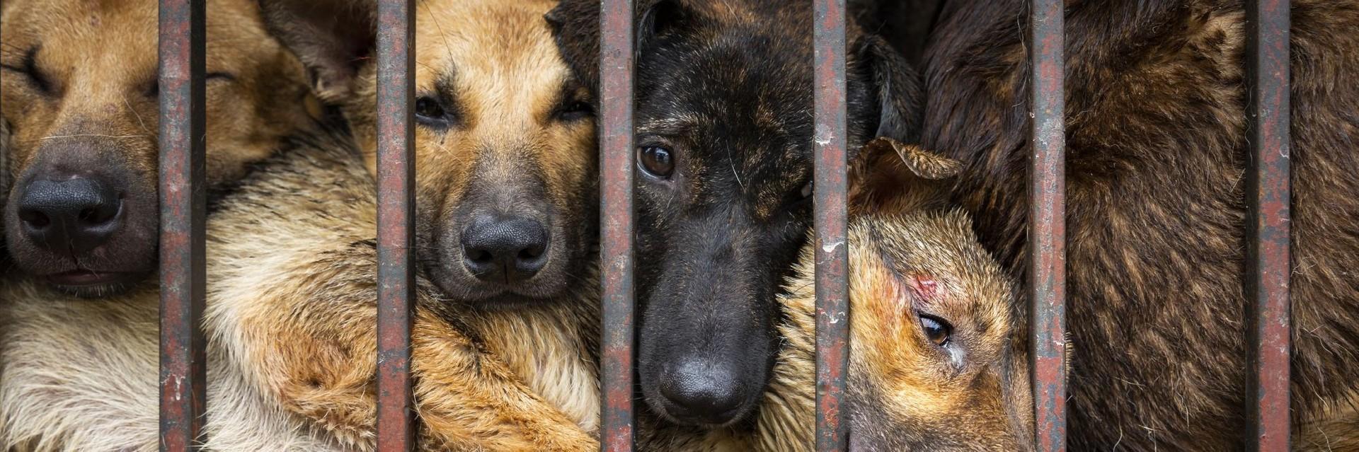 Signez notre pétition contre le commerce de la viande de chien et de chat