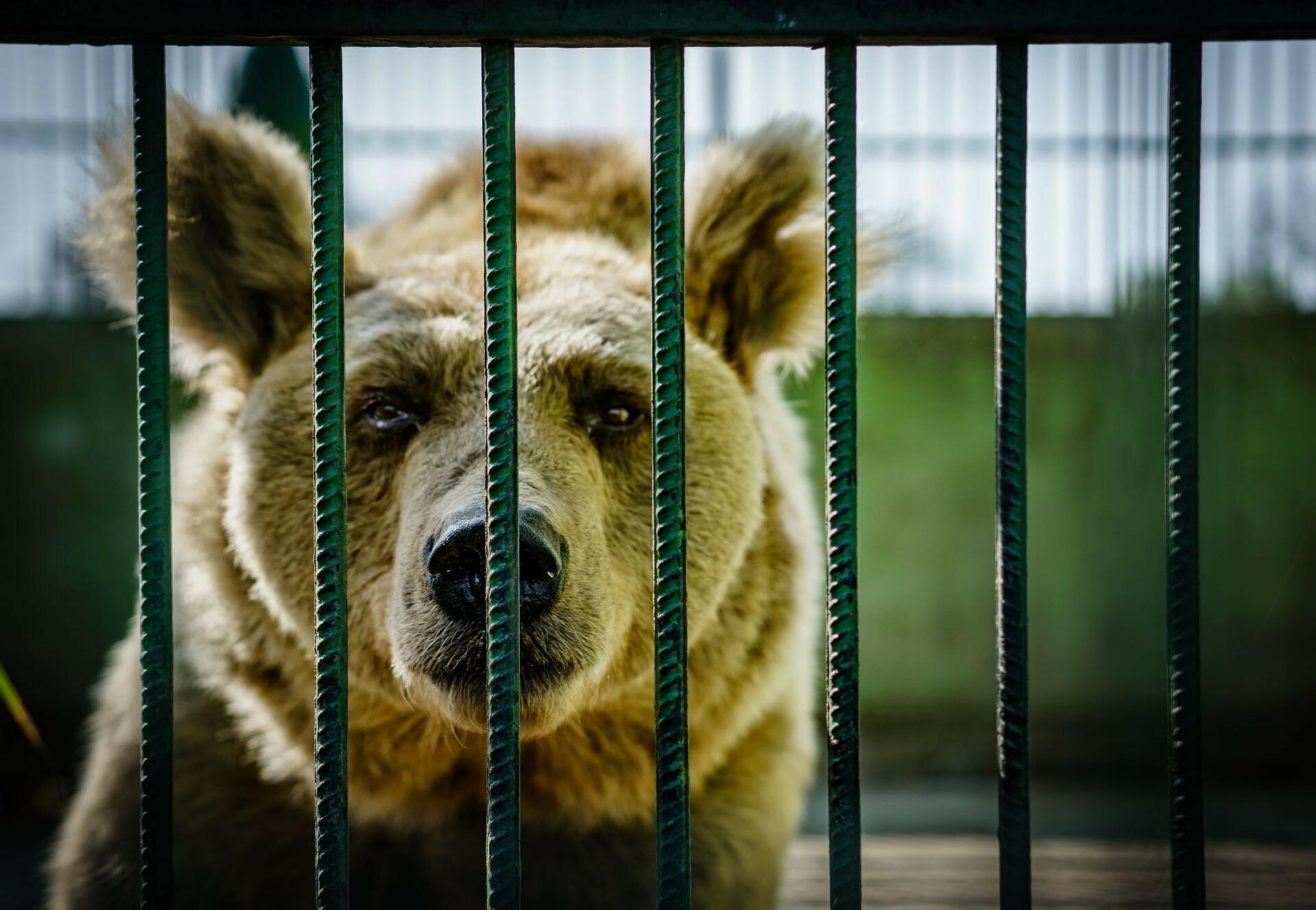 Bear in cage in Croatia