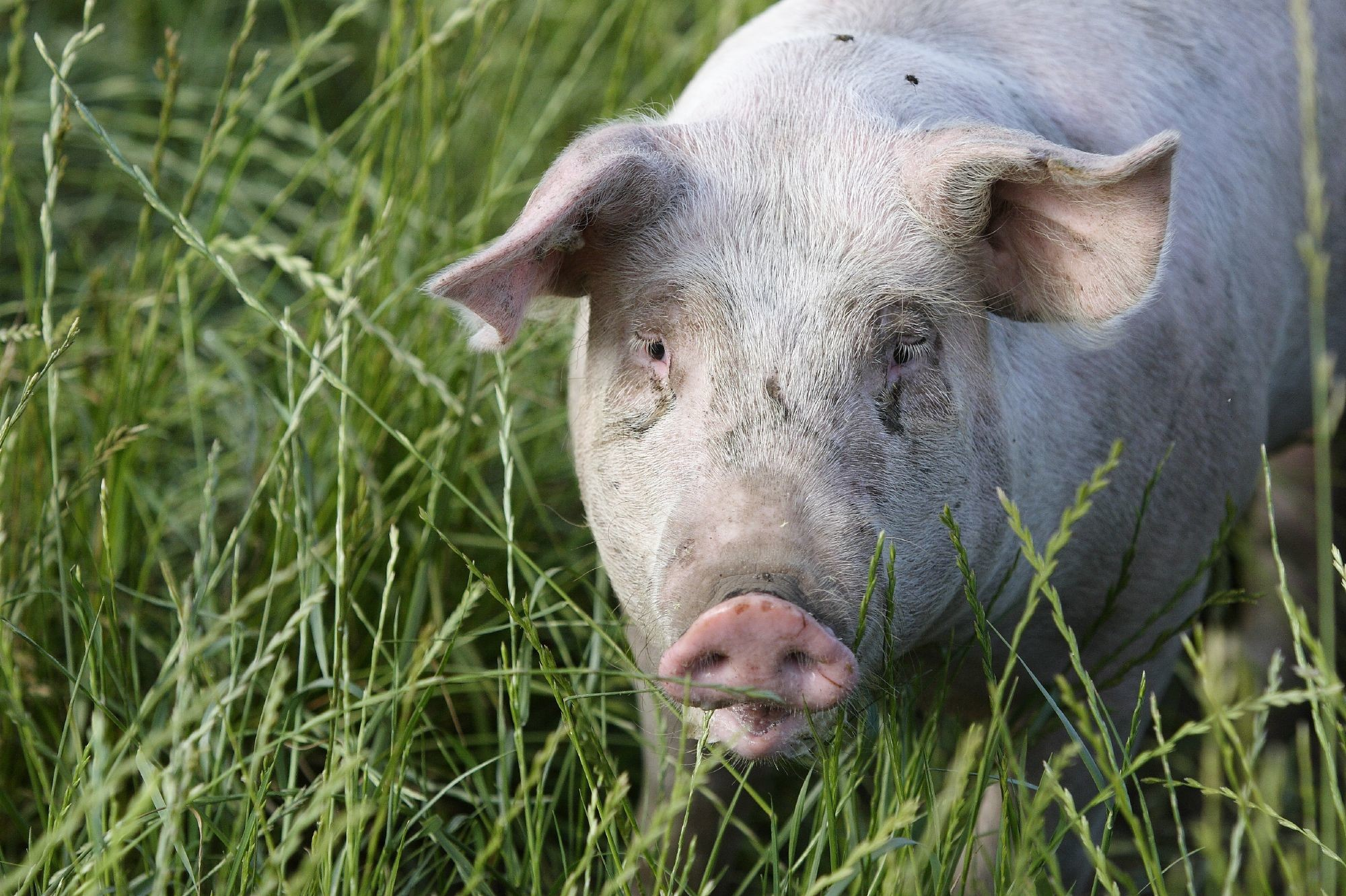Happy pig in gras