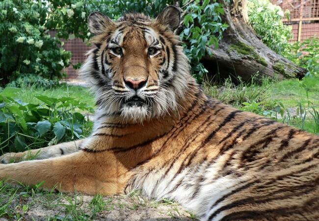 Tigress Sayeeda