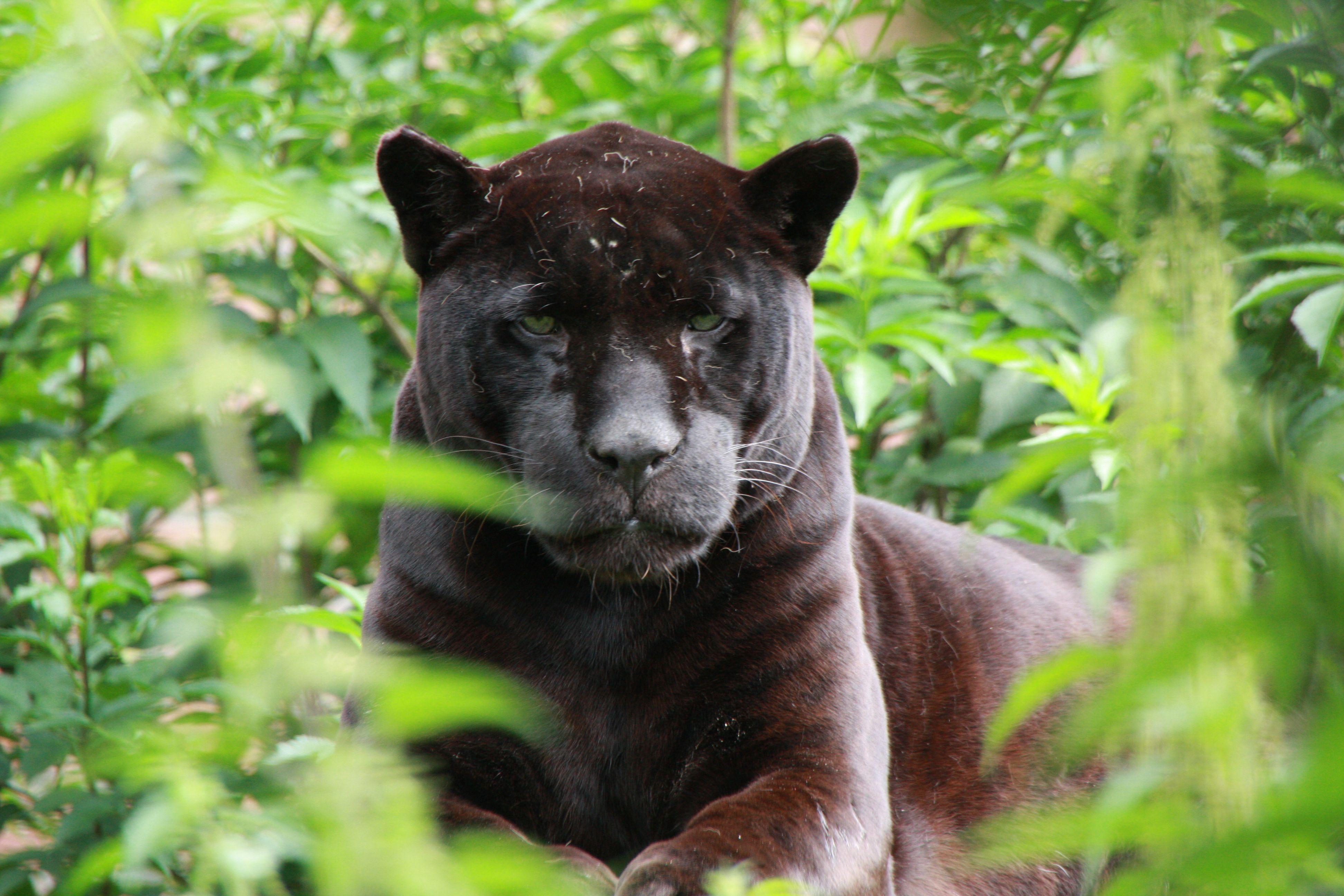 Zwarte jaguar
