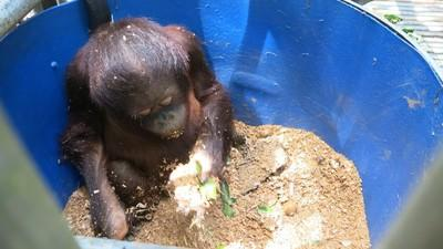 Support the cost of physical enrichment for our orangutans