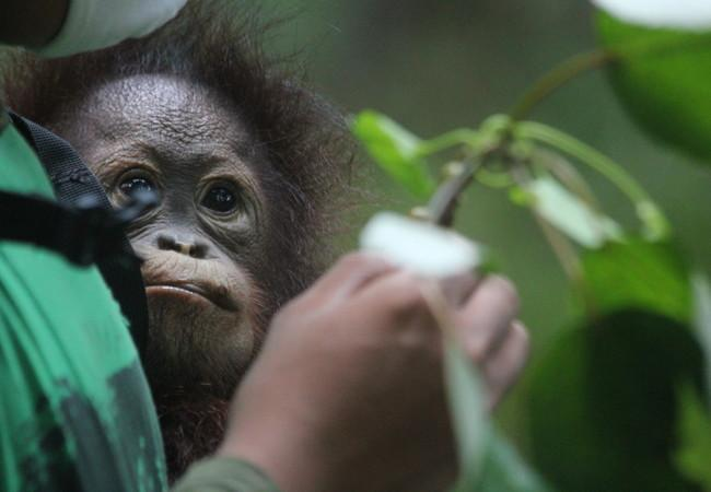 Orangutan Damai with caregiver Ipeh