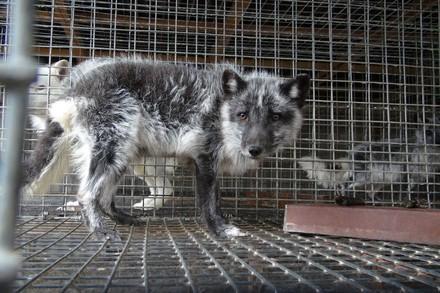 Fox in a fur farm