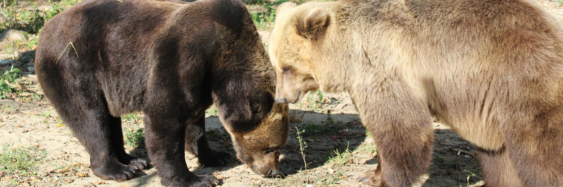 Bears Leo and Melanka