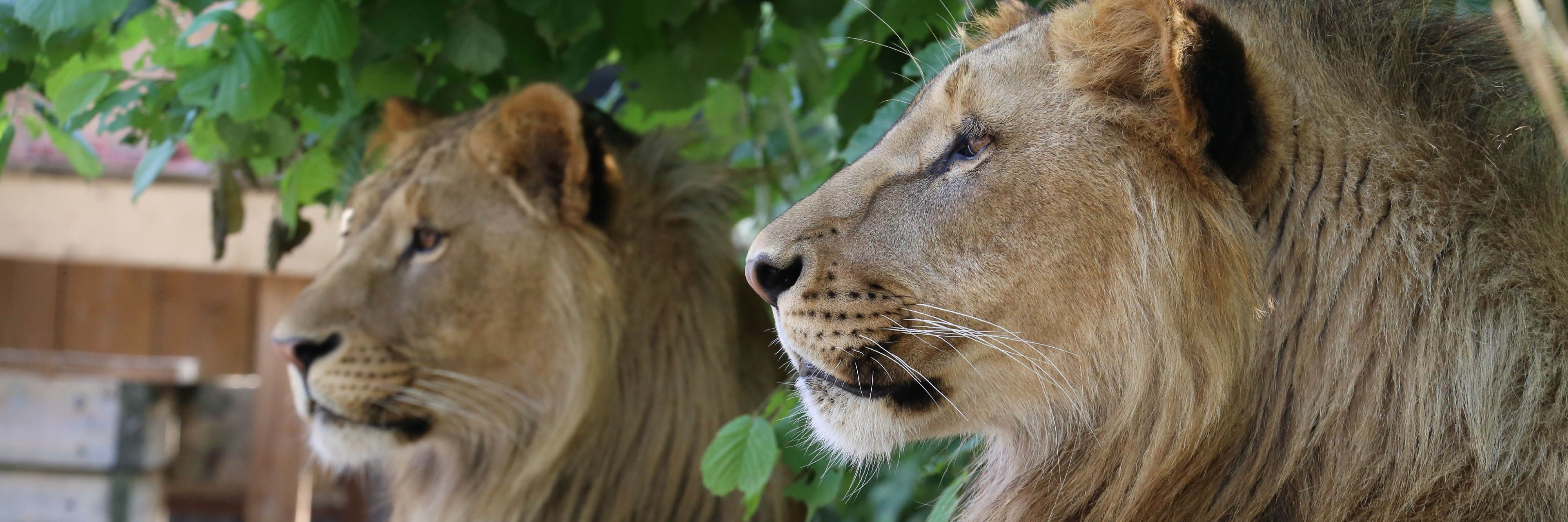 Lions Masoud & Terez at FELIDA
