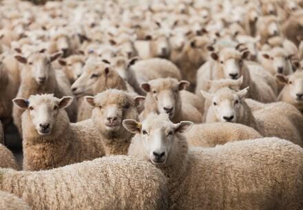 Des moutons en Australie