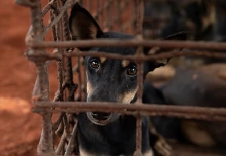 Un chien dans un abattoir au Cambodge