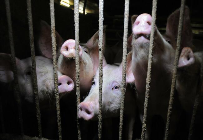 pigs on a pig farm