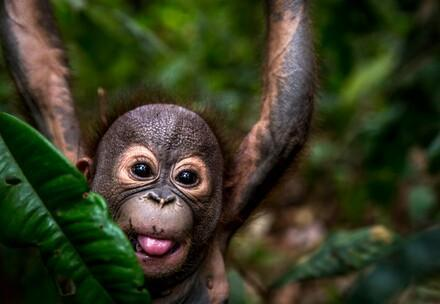 Orangutan orphans need our help
