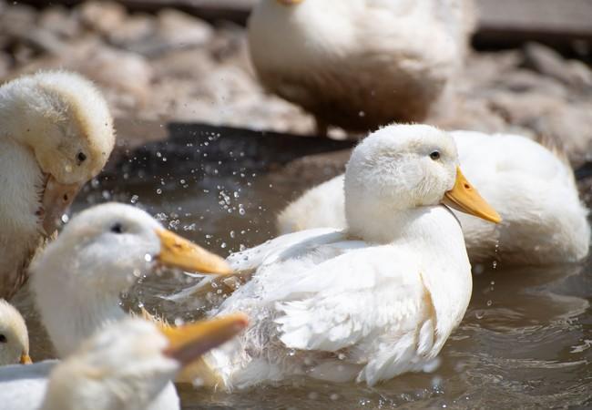 Der Zugang zu frischem Wasser ist für Enten sehr wichtig