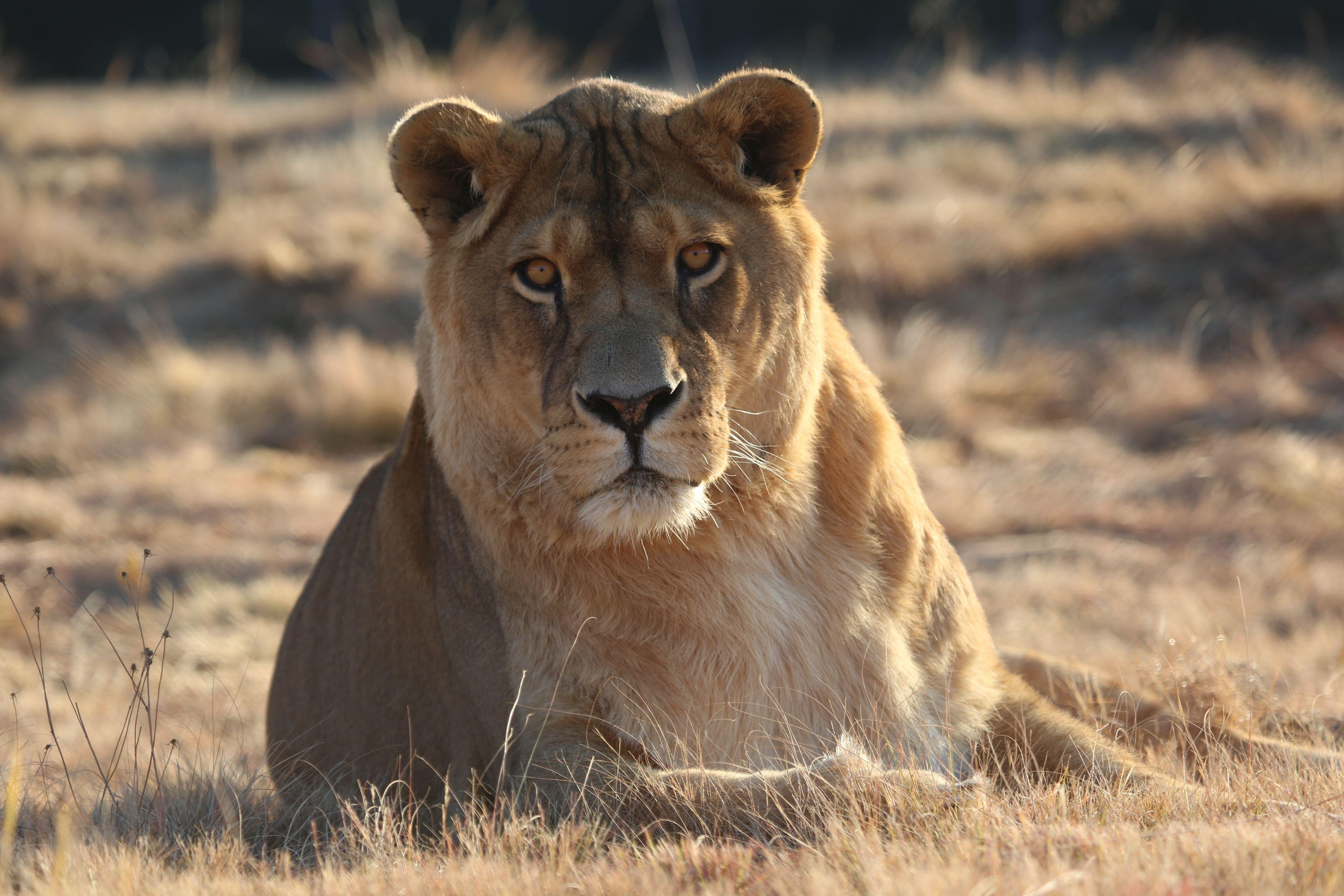 Lion Pregan in LIONSROCK