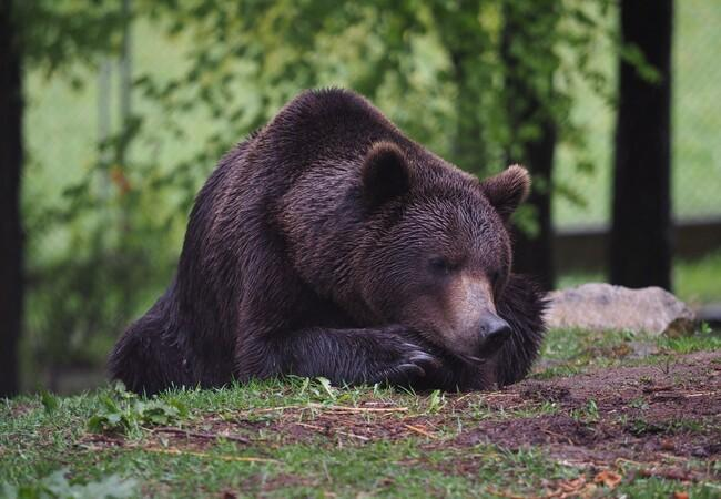 Brown bear Erich laying in the grass