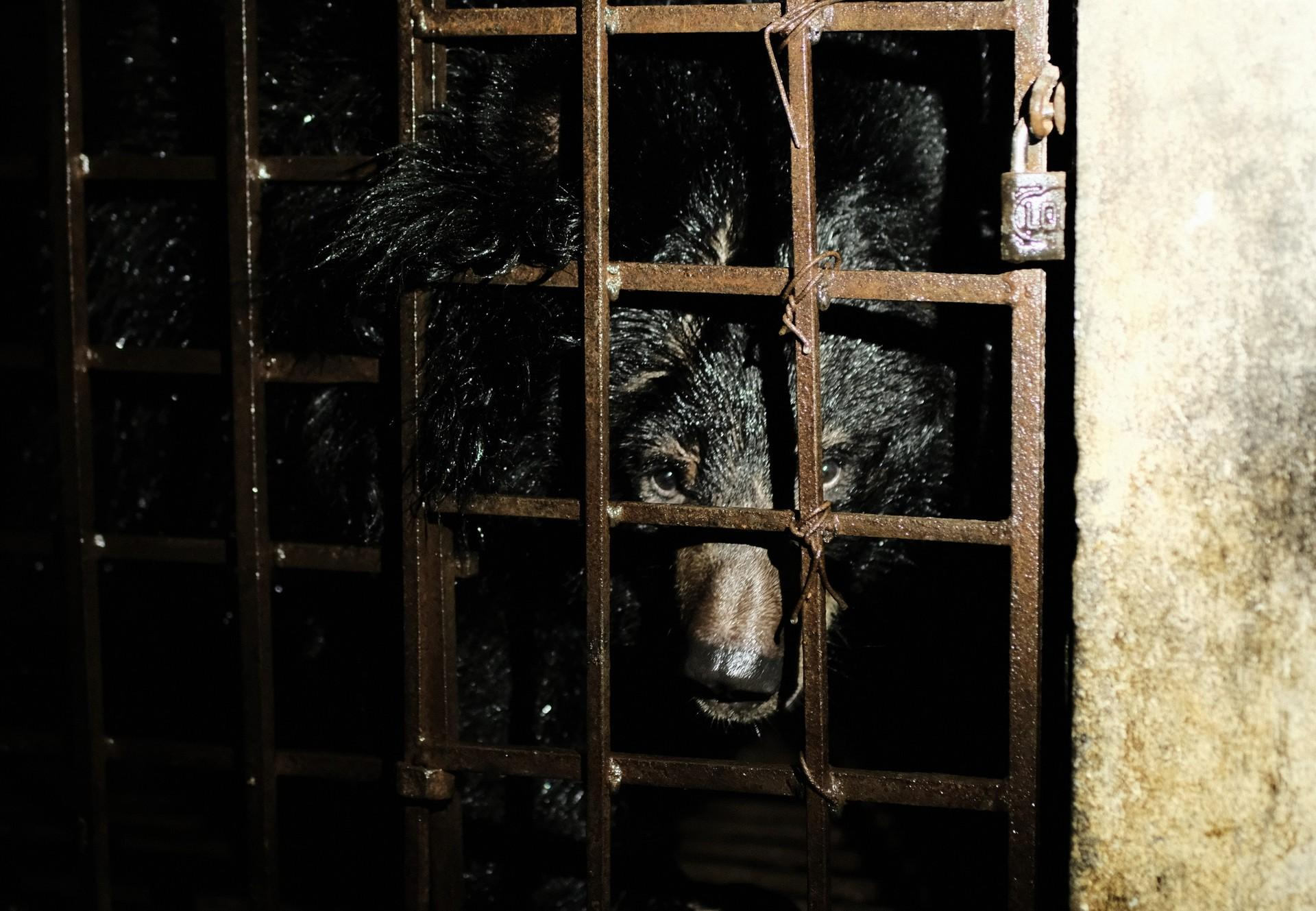 Les ours ont souffert 17 ans dans une cage