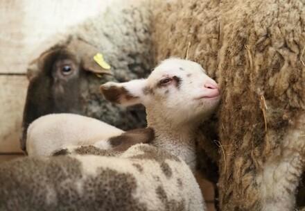 un mouton sauvé