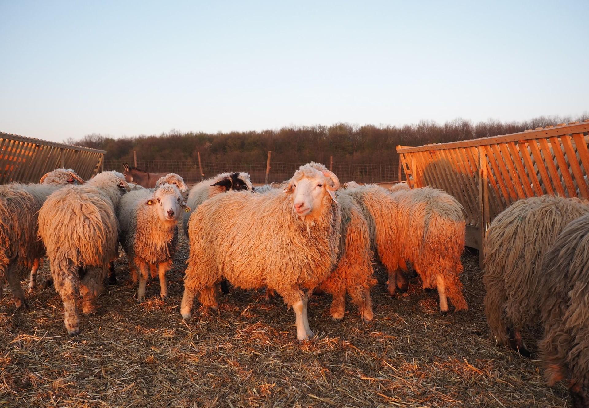 Die geretteten Schafe auf dem Hof in der Nähe von Bukarest
