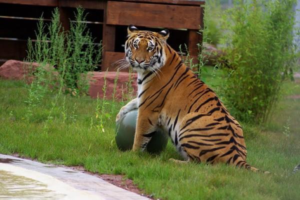 Tiger spielt mit Ball bei TIERART
