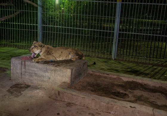 Löwin im Sudan erholt sich