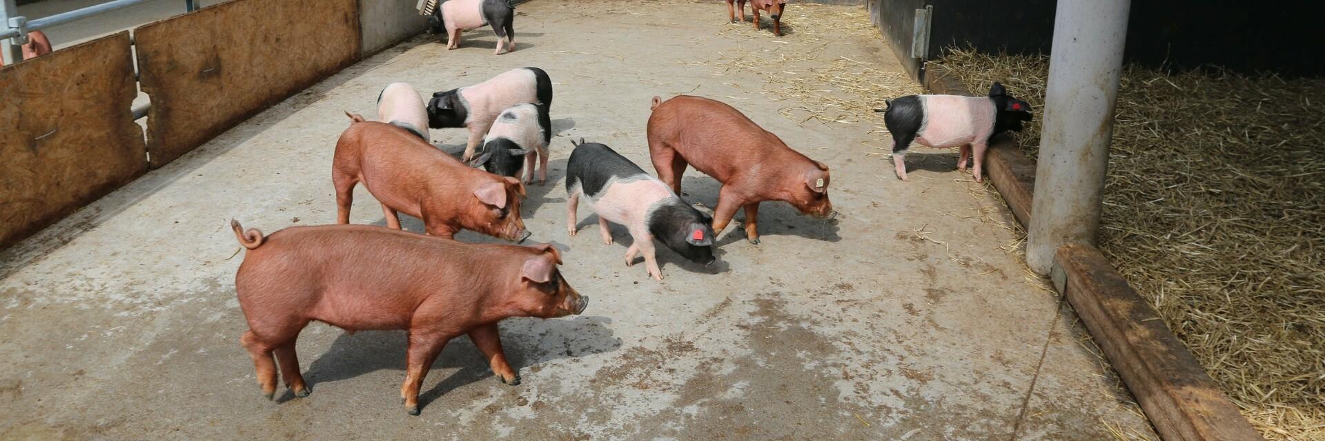 Schweine im offenen Stall mit Auslauf