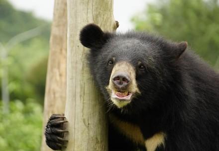 Bear at Ninh Binh