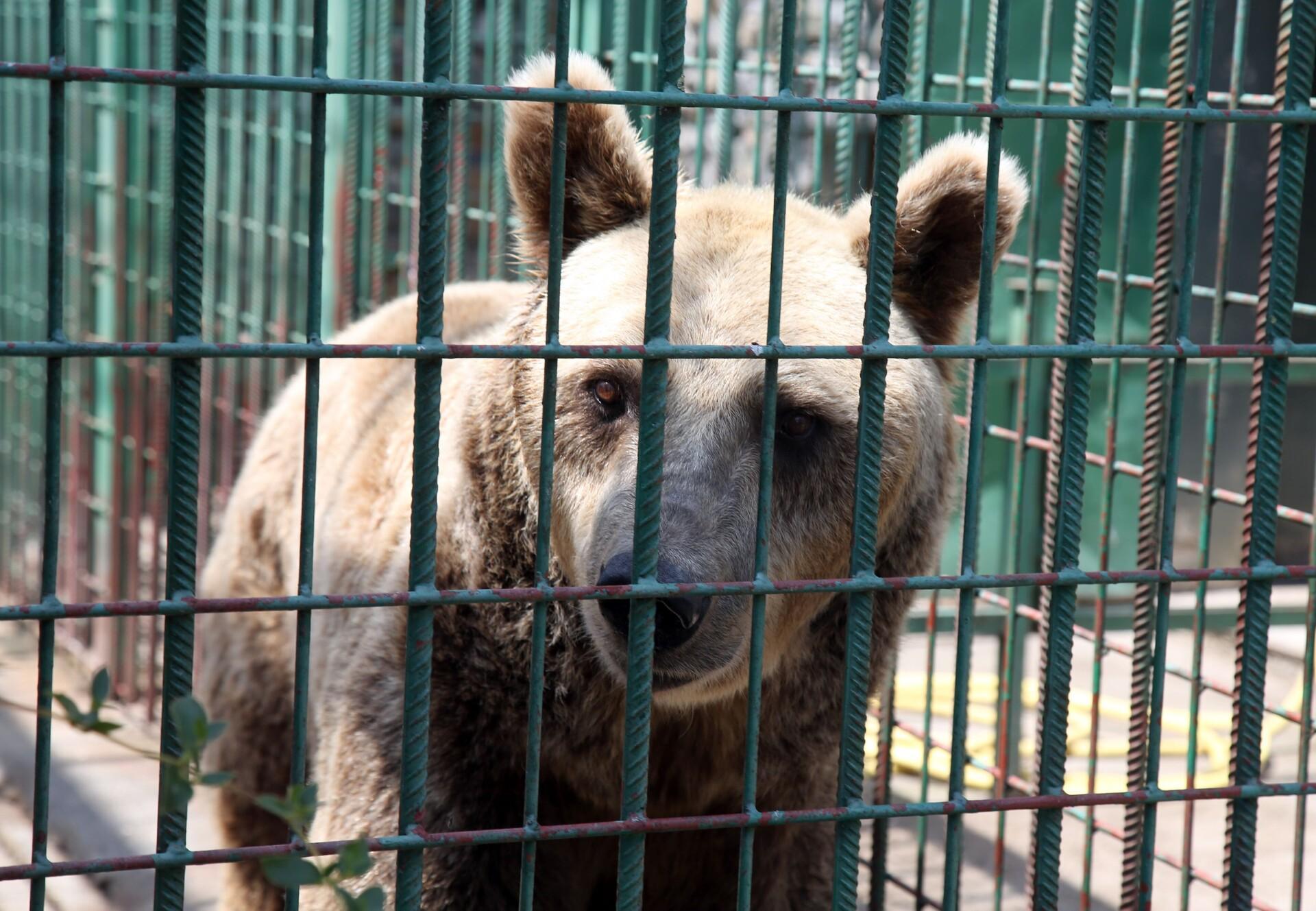 Braunbär Bruno in Käfig in Kroatien