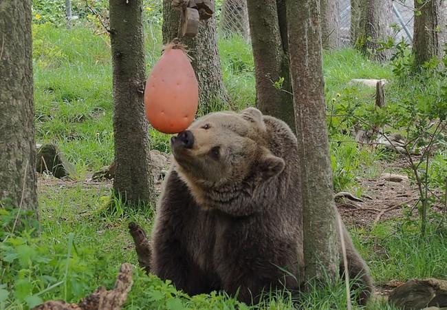 Bear Brumca at BEAR SANCTUARY Arbesbach