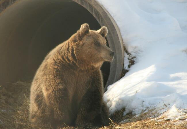 Bear Gjina at BEAR SANCTUARY Prishtina