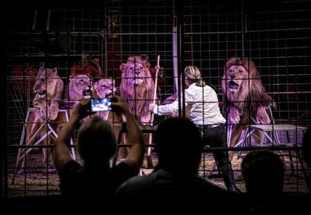 Lions in circus