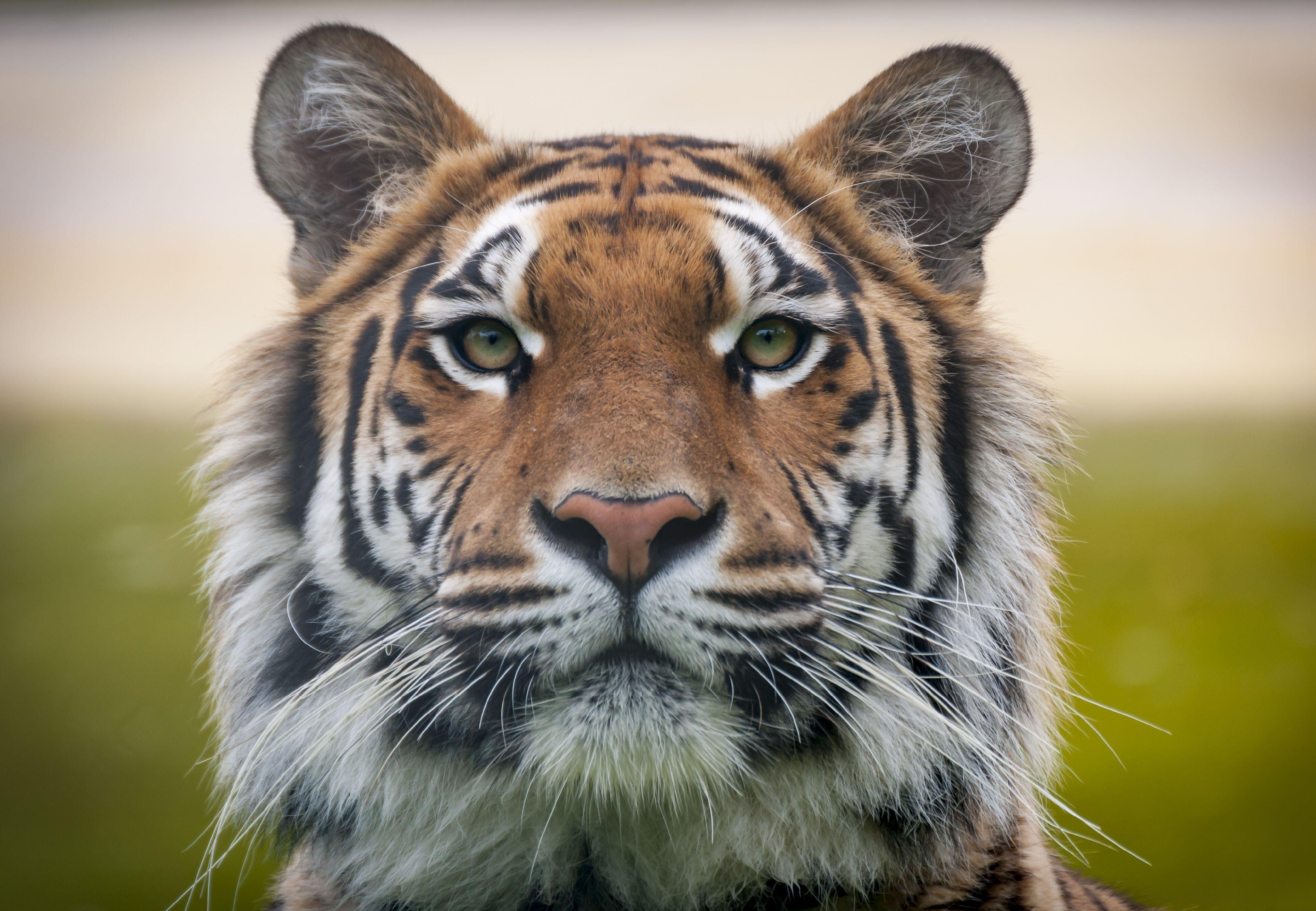Tigers in Care of FOUR PAWS