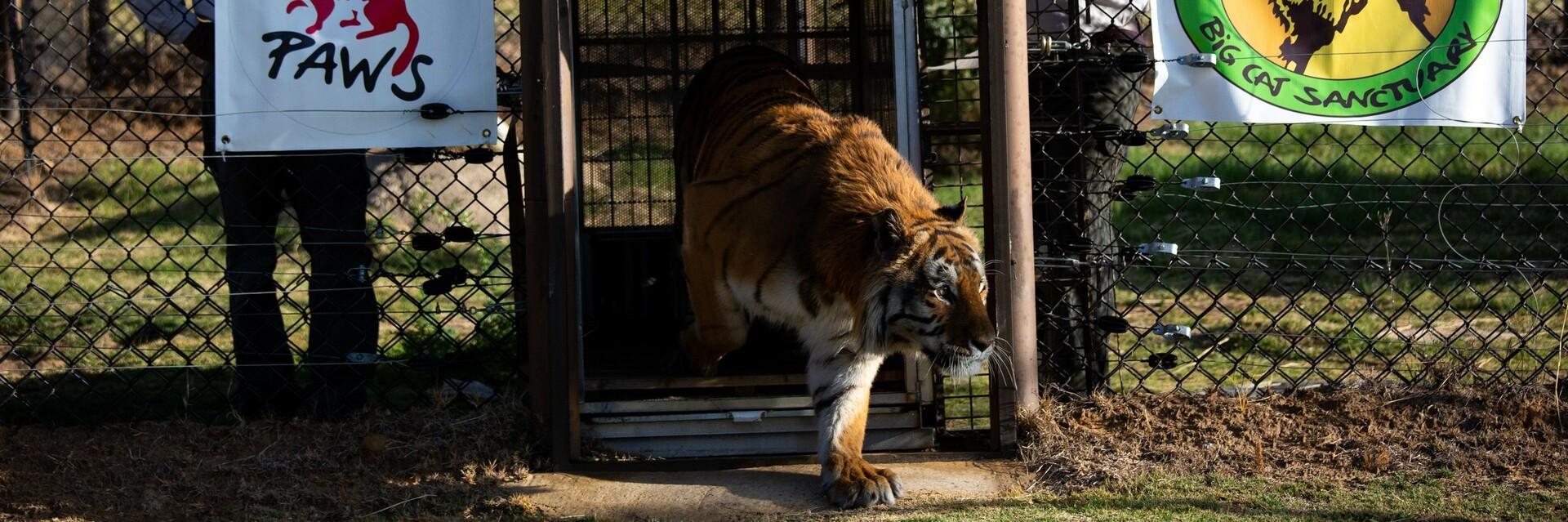 Transport van tijger Caruso